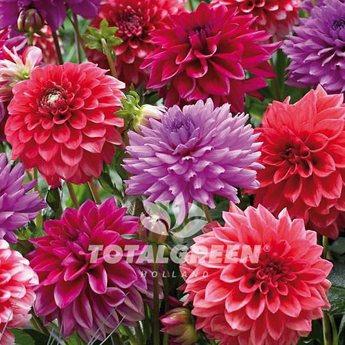 Dahlia Red & Purple