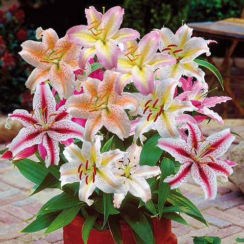 Mixed Lily