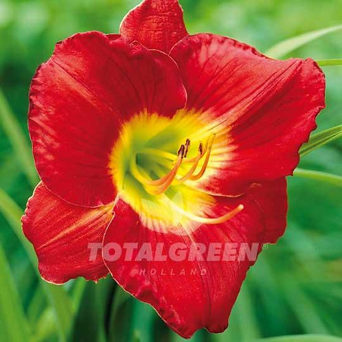Daylilies Red