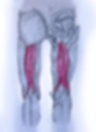 shiatsu anatomia los isquiotibiales