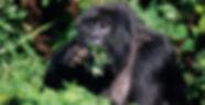 Gorila comiendo