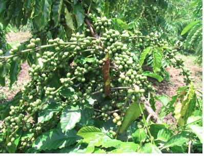 coffeeplant4