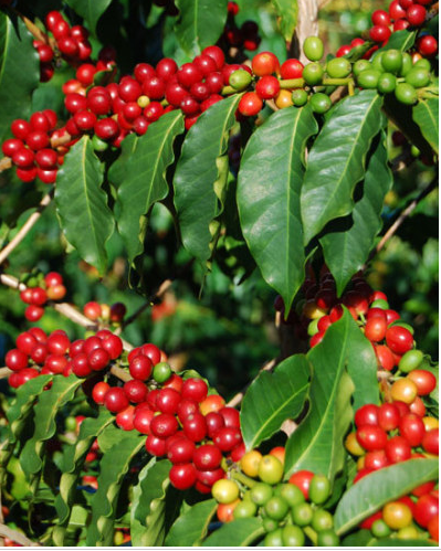 Abarica cherries