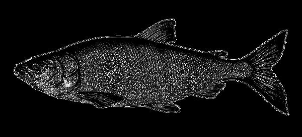white-salmon-nelma-fish-collection-healt