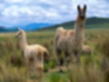 Nice-Llama-Wallpaper.jpeg