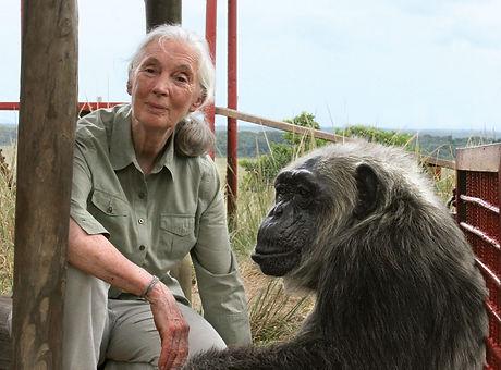Jane-Goodall-chimpanzee-Congo-Tchimpoung