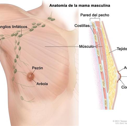 Información general sobre el cáncer de mama masculino.