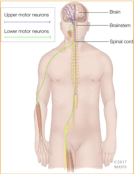 Sistema motor primario que muestra las conexiones entre las neuronas motoras, las superiores e inferiores y el órgano efector muscular. Uper motor neurons: neuronas motoras superiores. Lower motor neurons: nueronas motoras inferiores.