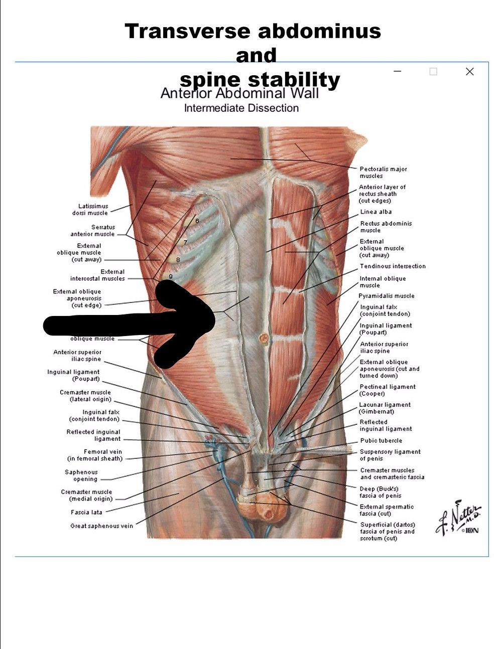 Transverse abdominus and spinal stability