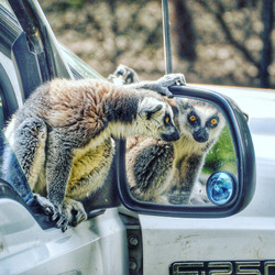 ring tailed lemur austin texas