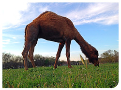 Clyde the Camel