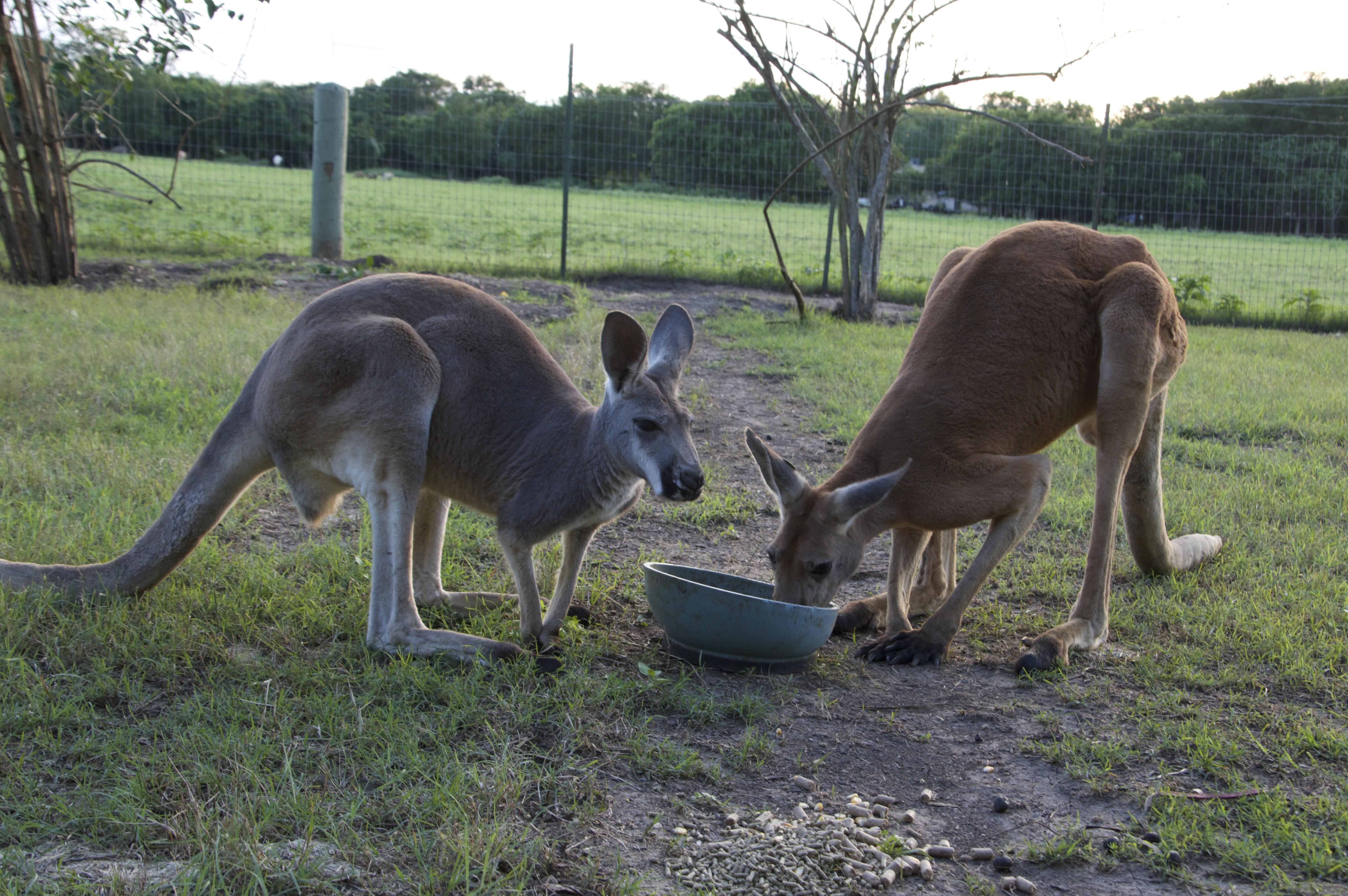 Kangaroos Austin