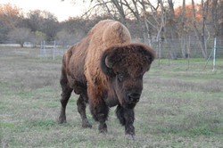 Big Ben the Buffalo
