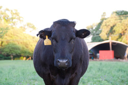 Wagoo Cattle
