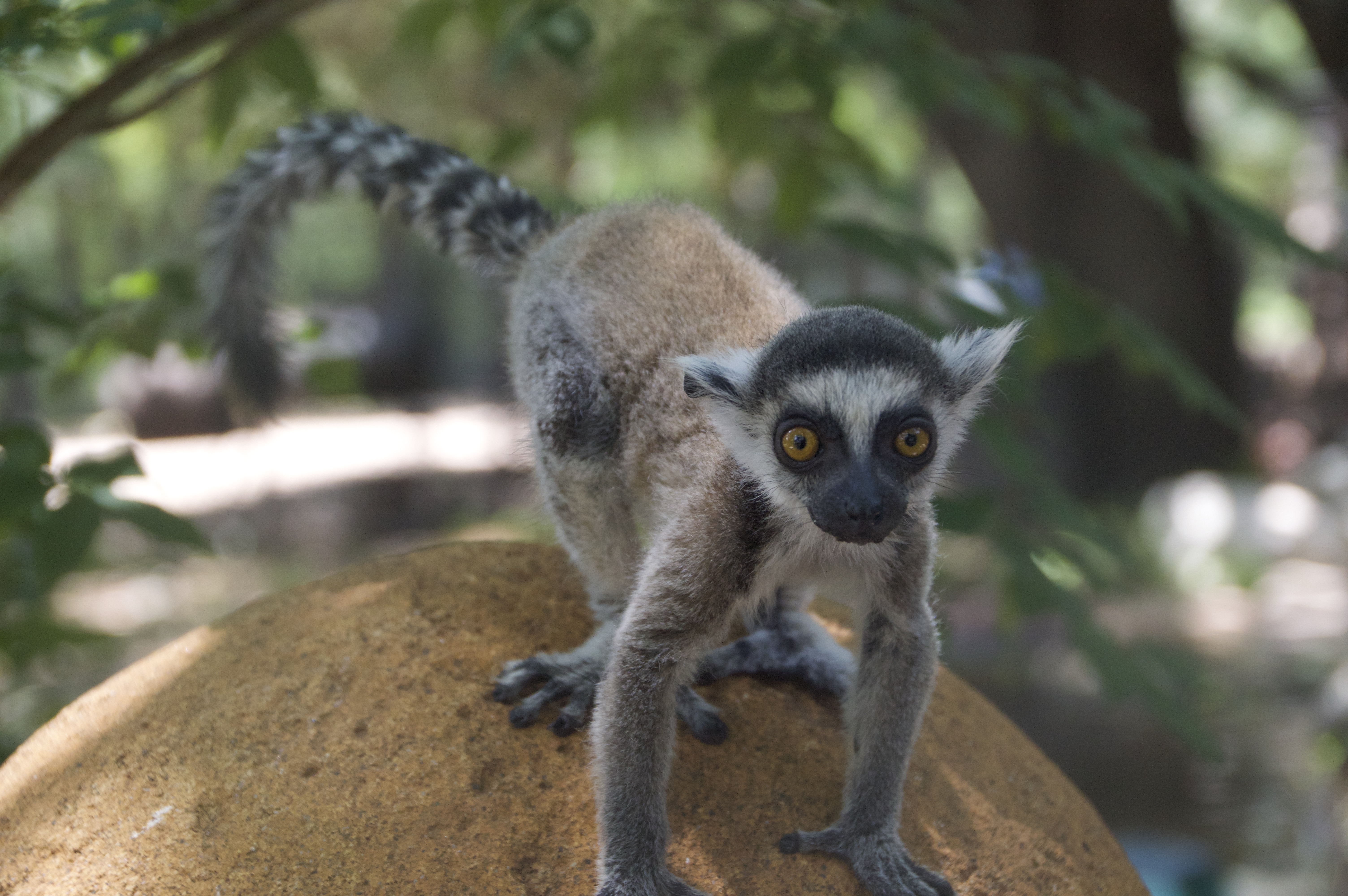 Rings tailed lemur