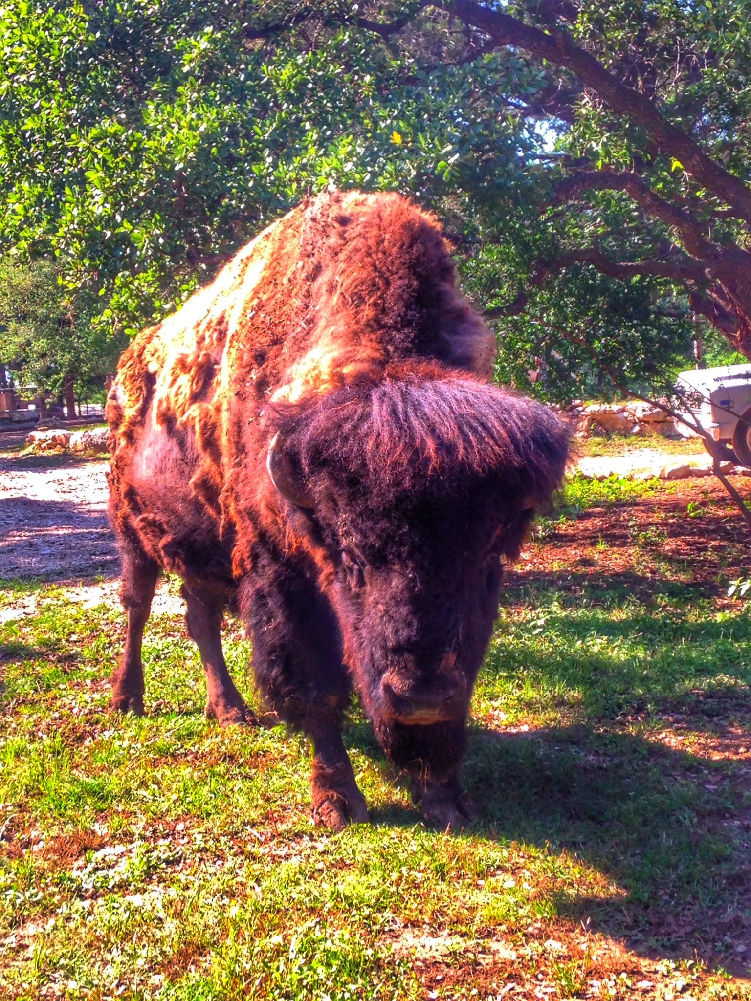 Buffalo Austin Texas