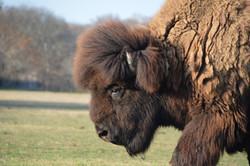 Bison Austin Texas