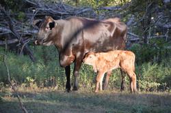 Wagu cattle
