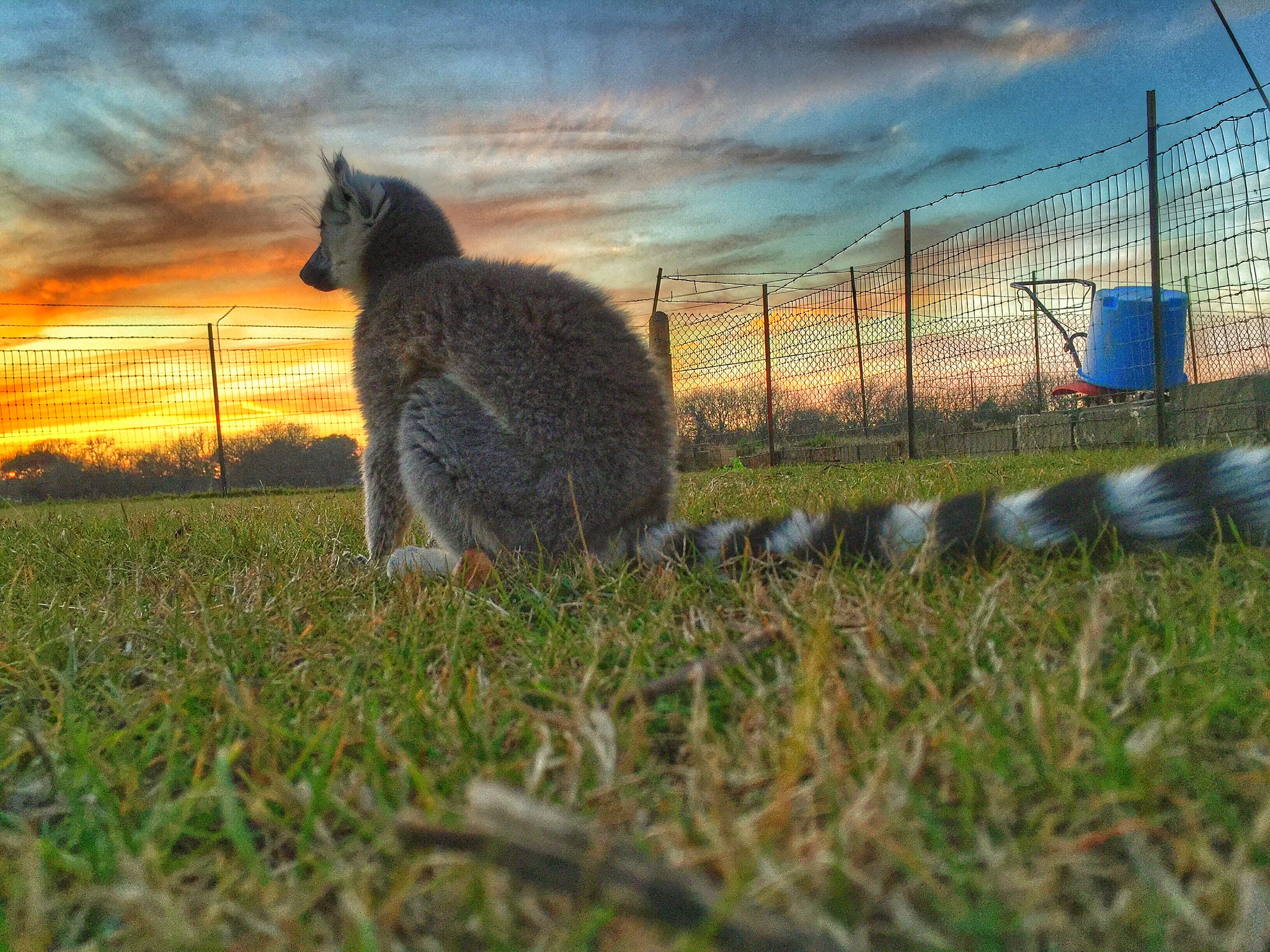 lola the lemur