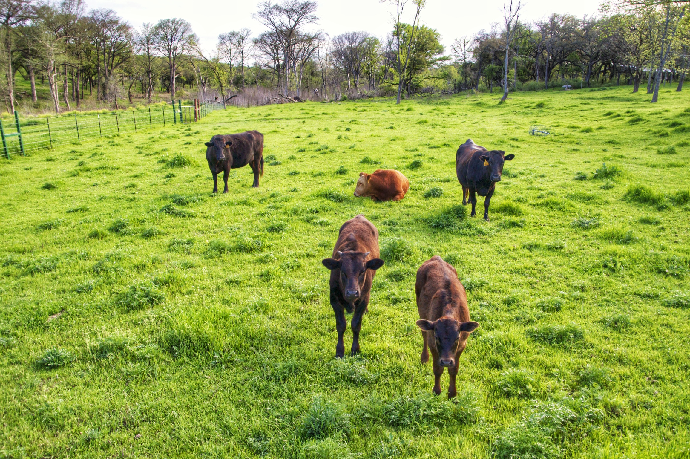 Waygu Cattle