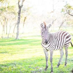 Zebra Austin Texas