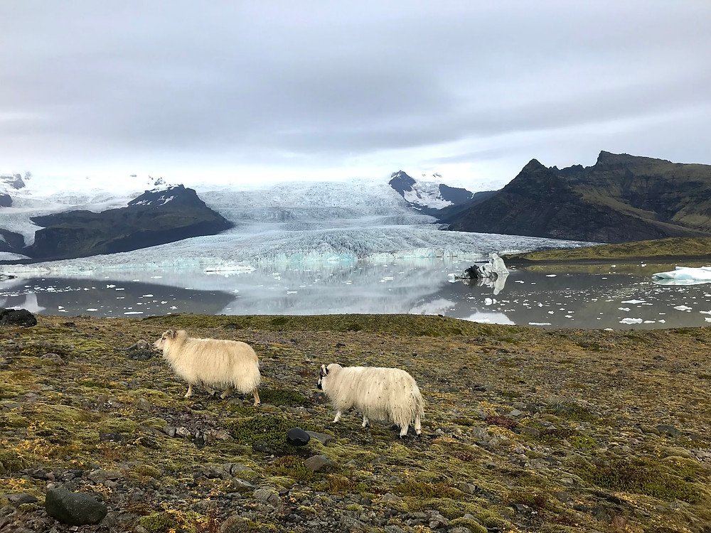 Sheep at Fjallsárlón glacier lagoon