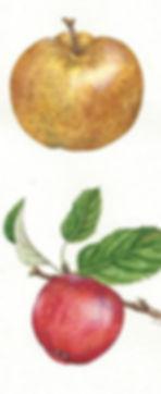 Apples13.jpg