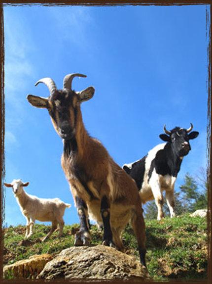 Takanini Feeds Goat Pellets