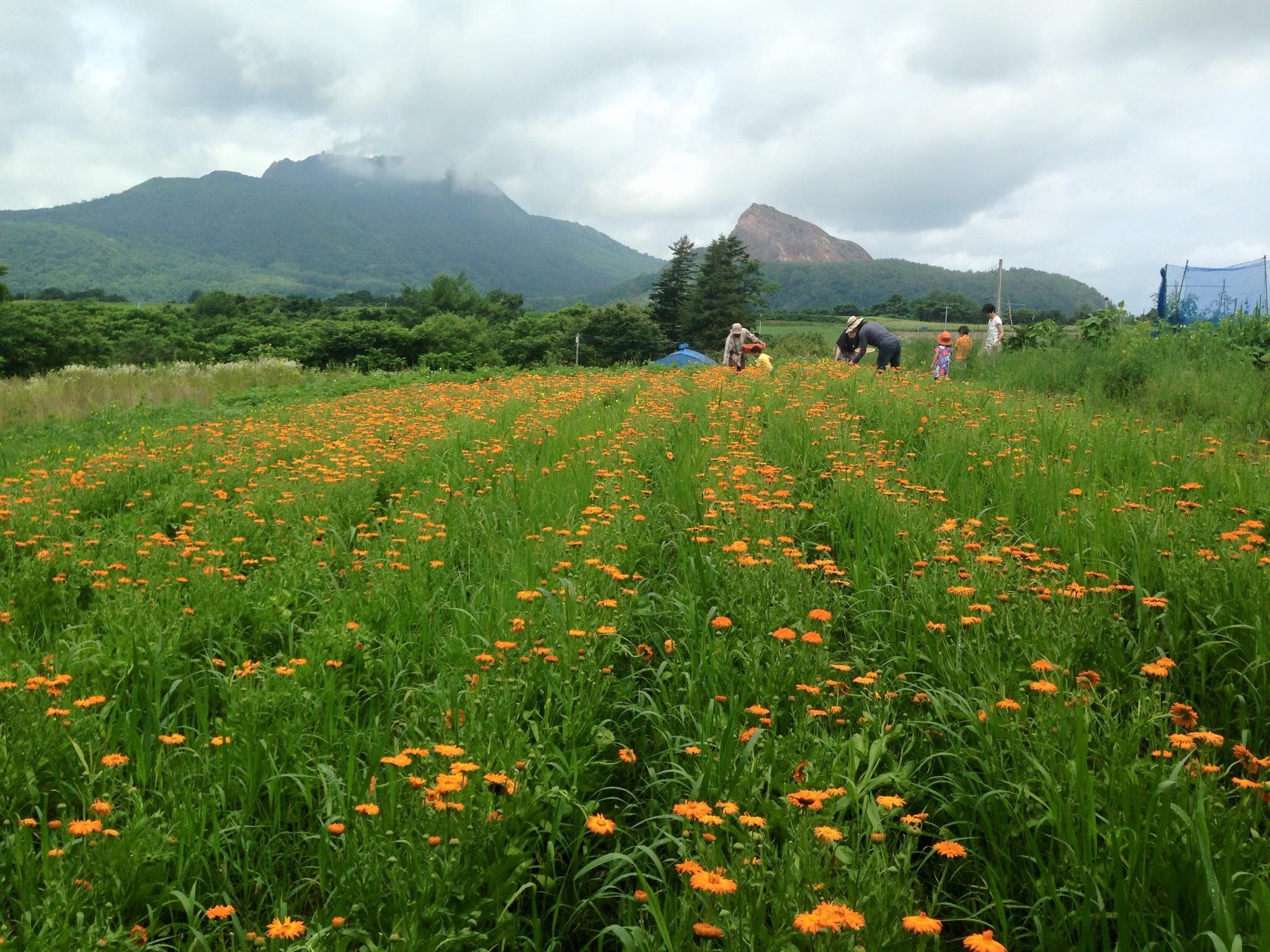 ひびきの村カレンジュラ畑