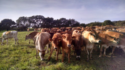 Jersey cattle under care of SMI