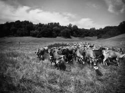 Team member Elle herding for SMI