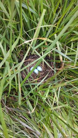Blackbird nest after graze event