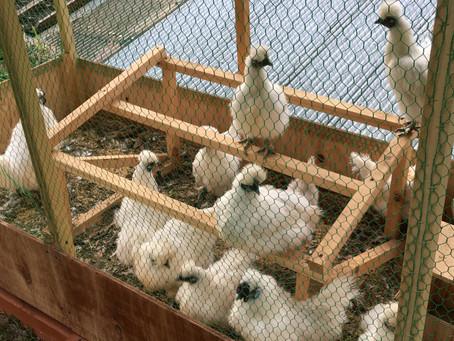 愛鶏家、全力前進