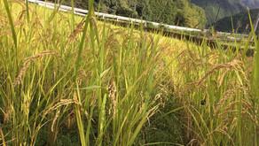 お米の収穫をしました