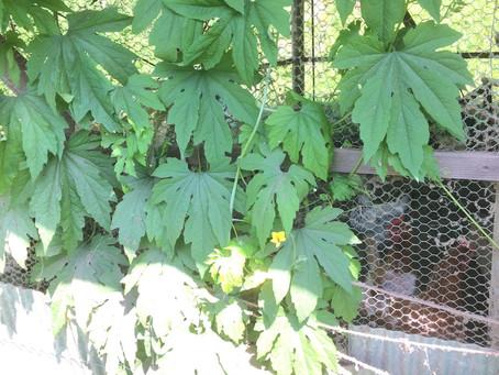 グリーンカーテンの鶏舎
