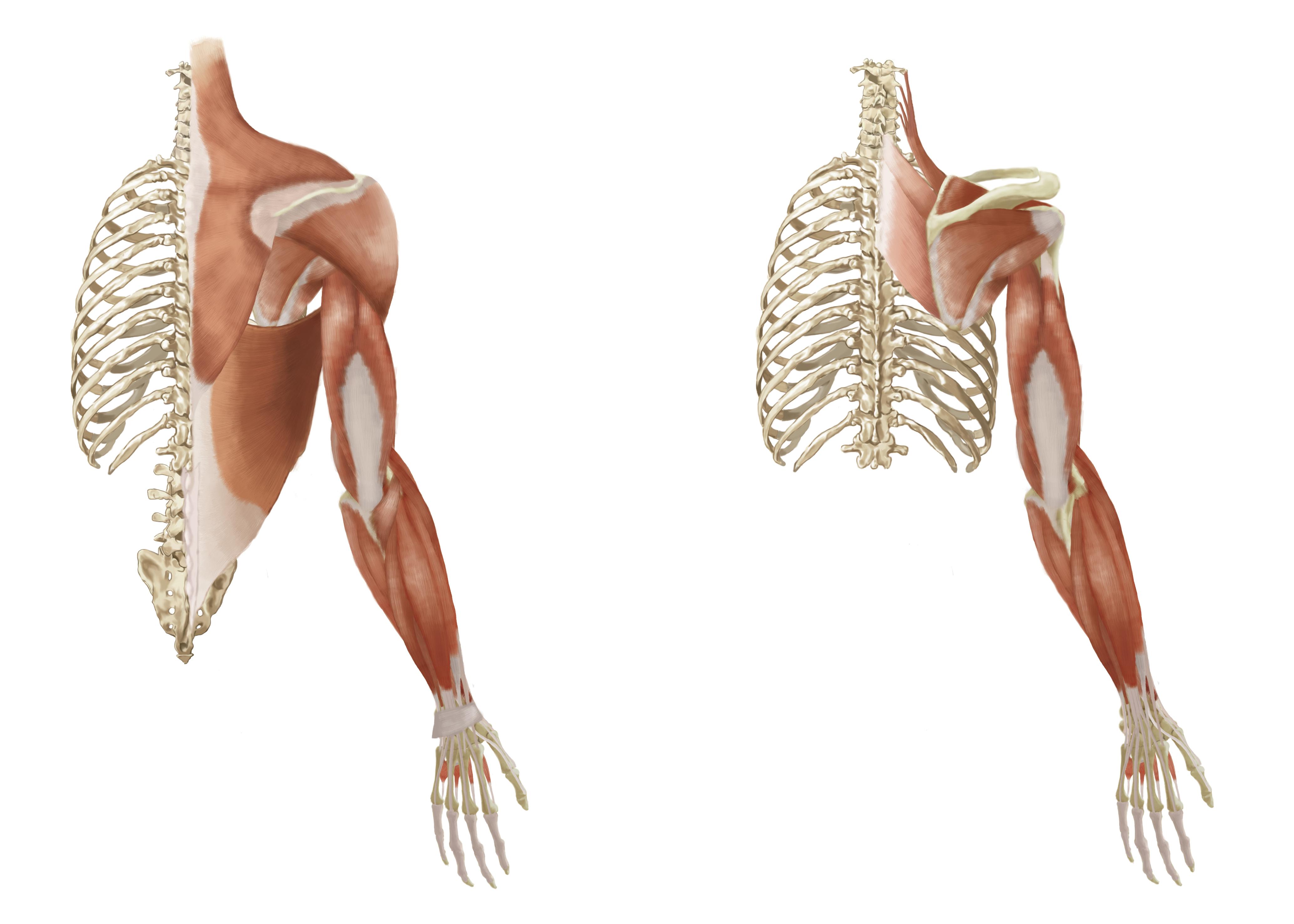 La vision posterior musculos pierna de