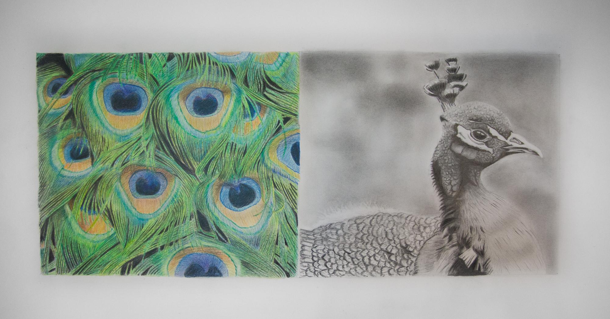 paon, 2017, graphite et c de couleur