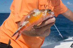 Fishing St. Croix - Deep Sea Island Charters-47