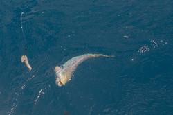 Fishing St. Croix - Deep Sea Island Charters-28