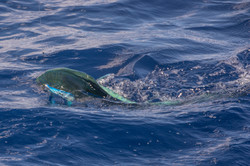 Fishing St. Croix - Deep Sea Island Charters-48