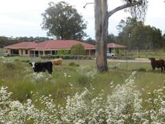 239 Hendon Deuchar Cattle Photo.jpg