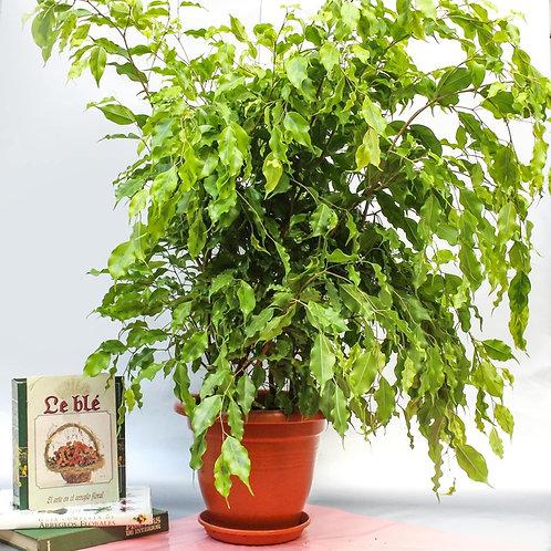 Ficus limón
