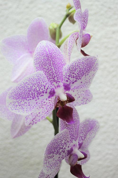 Planta Orquidea en varios colores