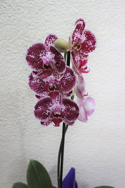 Planta orquidea en caja y bombones