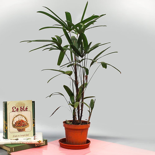 Planta Raphis