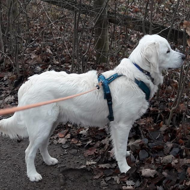 Aaron (In Ausbildung zum Therapiehund)