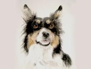 Tri Colour Collie Pet Portrait