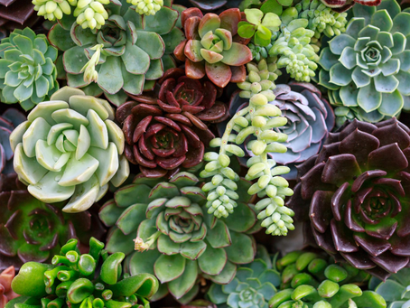 Practical tips for growing Succulents