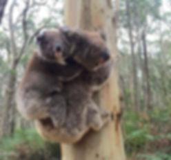 Koalas in tree.jpg