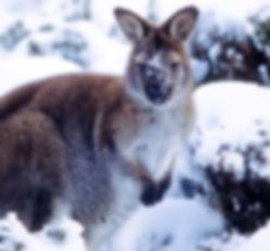 snow-wallaby-picture.jpg